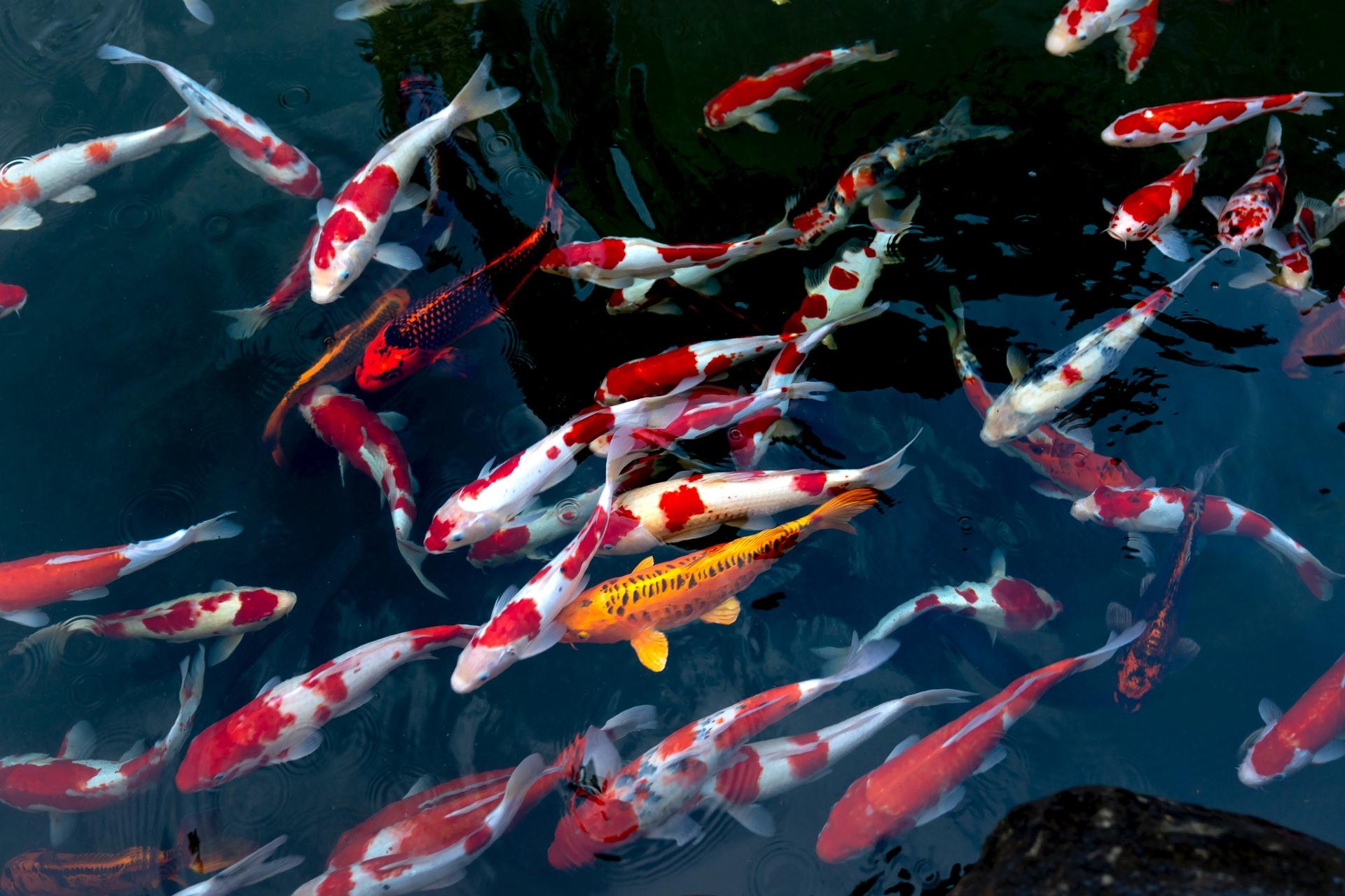 Môi-trường-sống-phù-hợp-cho-cá-Koi