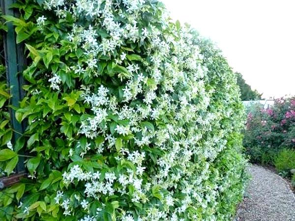 Tường sân vườn bằng cây hoa leo