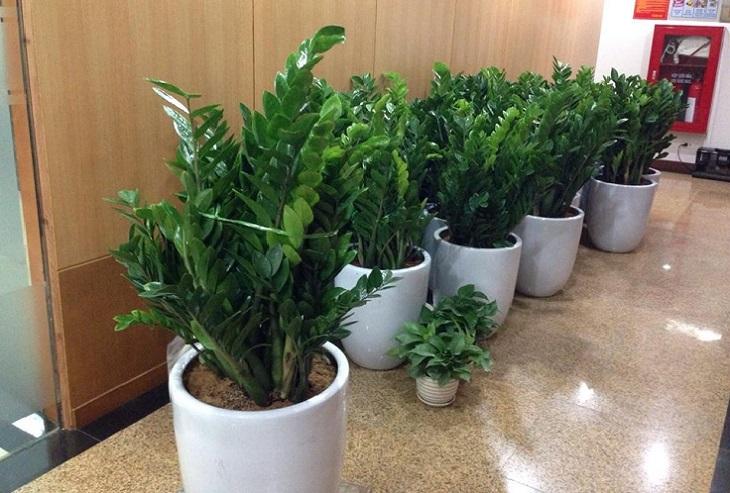 Cây phong thủy thích hợp trồng trong nhà