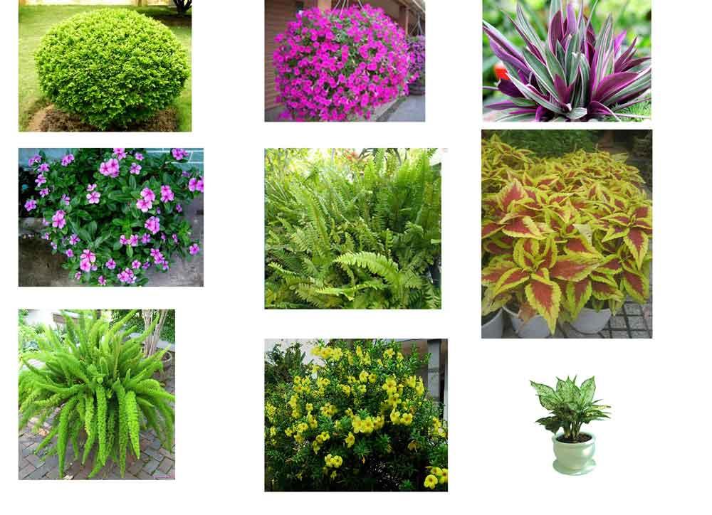 Một vài loại cây dung trang trí cho các mẫu sân vườn nhỏ dừa cạn. cây là gấm, câu ngâu trong, dạ yến thảo,...