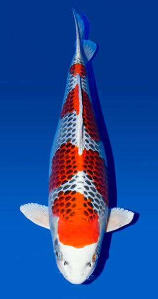 Cá Koi Kujaku